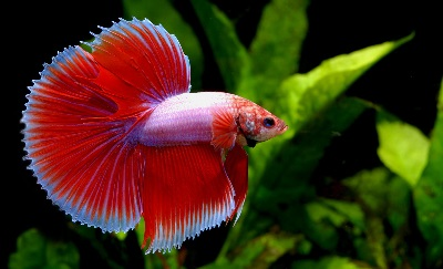 red-halfmoon-betta-fish