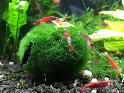 shrimp-moss-ball