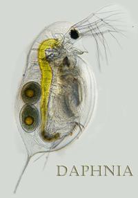 daphnia-for-aquatic-species