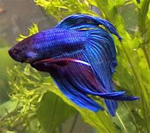 Veil-tail-betta-fish