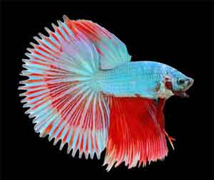sun-tail-betta-fish