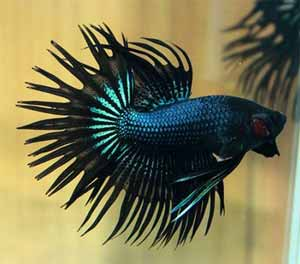 crown-tail-betta-fish