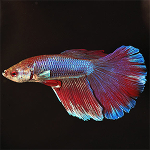 delta-tail-betta-fish