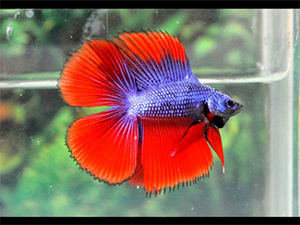 double-tail-betta-fish