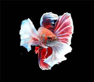 dumbo-elephant-ear-betta-fish
