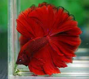 rose-feather-tail-betta-fish