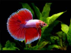 halfmoon-tail-betta-fish