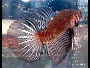 round-tail-betta-fish