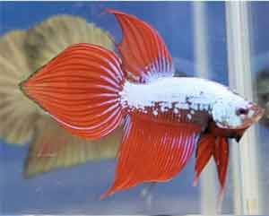 spade-tail-betta-fish