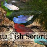 betta-fish-sorority
