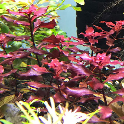 Red-Ludwigia