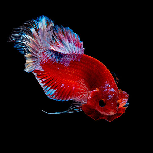 Title-image-betta-fish-age